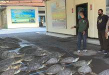 Hendak Transaksi, Sindikat Penyelundup  Penyu Dibekuk di Laut Serangan