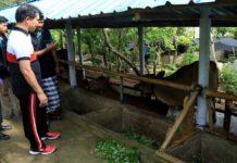 Sulit Cari Pakan Ternak, Petani di Nusa Penida Ramai-ramai Jual Sapi