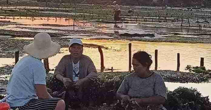 90 Persen Warga Lembongan Kembali ke Budidaya Rumput Laut