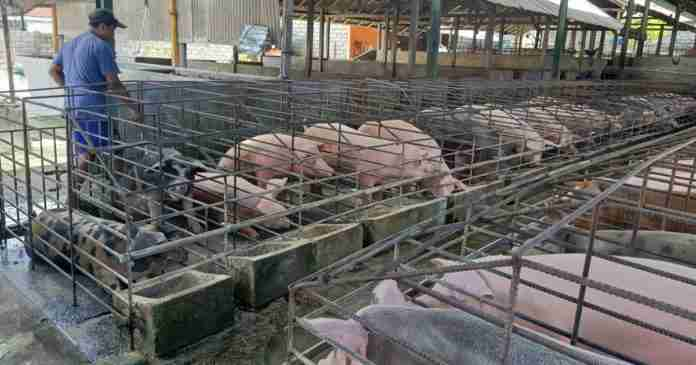 Peternak Rugi Besar, Populasi Babi di Klungkung Turun Drastis