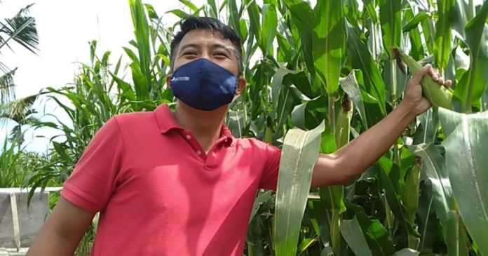 Petani Plandung Kembangkan Jagung Muda, Raup Omzet Jutaan Rupiah