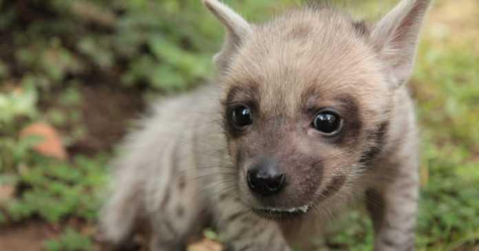 Bayi Hyena Lahir di Bali Safari Park, Dinamai Mooi oleh Jedar