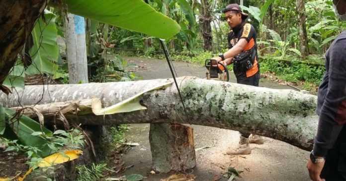 Hujan Lebat, Karangasem Mulai Dikepung Bencana Pohon Tumbang