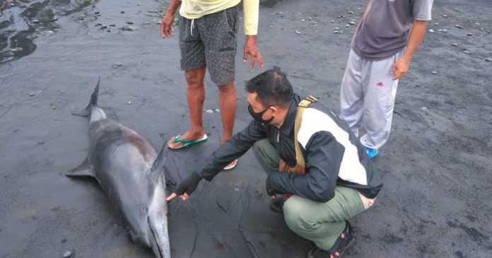 Bangkai Lumba-lumba Ditemukan Terdampar di Pantai Rambut Siwi