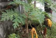 Hingga Tumbuh Pepaya, Trotoar Jebol Belum Ditangani