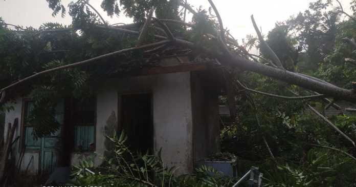 Pohon Tumbang Timpa Rumah Warga di Mendoyo Dauh Tukad
