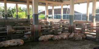 Pemotongan Babi di RPH Turun Drastis