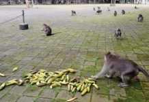 Agar Bertahan di Masa PPKM Darurat, DTW Alas Pala Pangkas Varian Buah Pakan Monyet